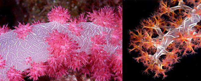 Gatunki z rodziny Dendronephtya występują w kilkunastu odmianach barwnych