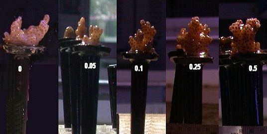jak odżywiają się korale?