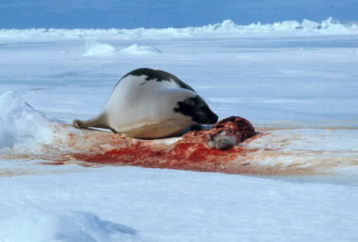 Polowania na foki