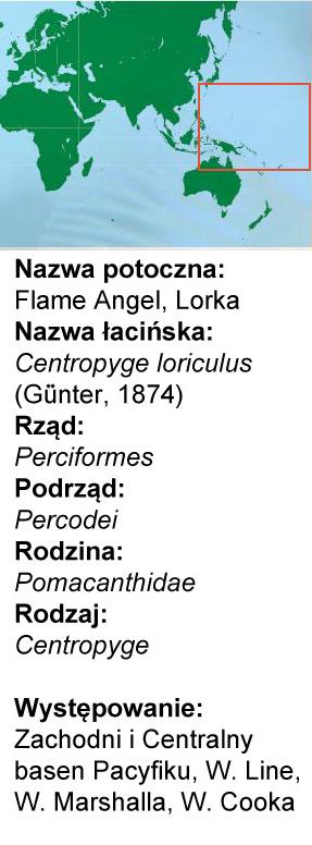 Centropyge loriculus