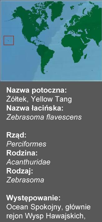 Zebrasoma flavescens