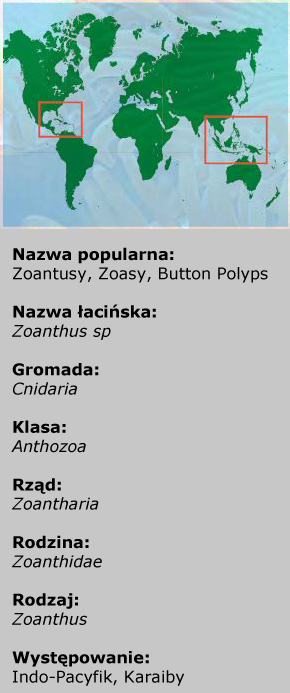 Zoanthus sp