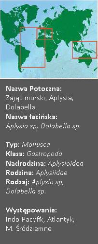 Dolabella - zając morski
