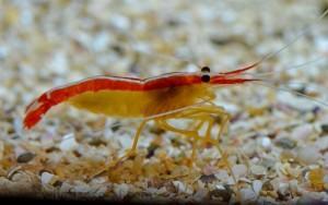 Krewetki potrzebują jodu w diecie dla zdrowego metabolizmu (http://www.taenos.com/en/fish-and-coral/photo/159/lysmata_amboinensis/)