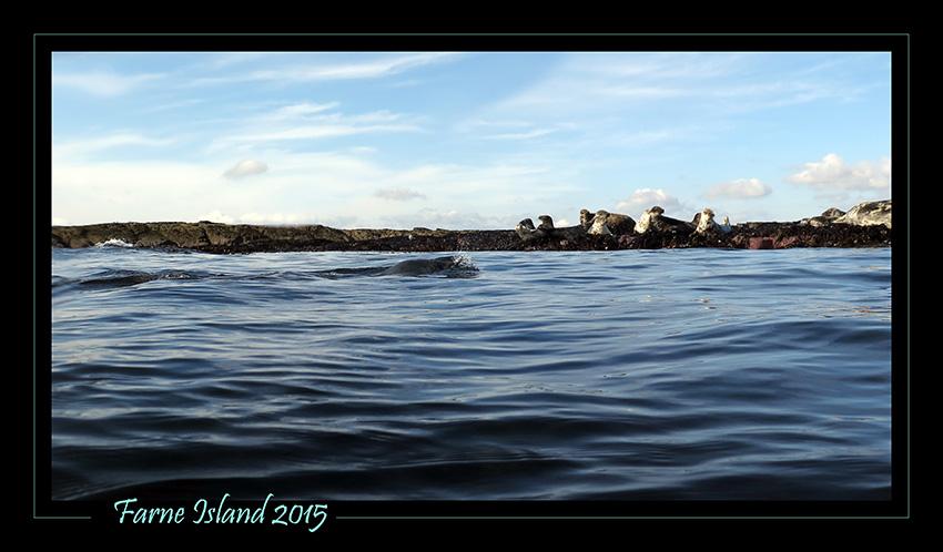 Foki na Farne Island