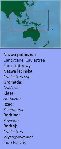 Caulastrea mapa