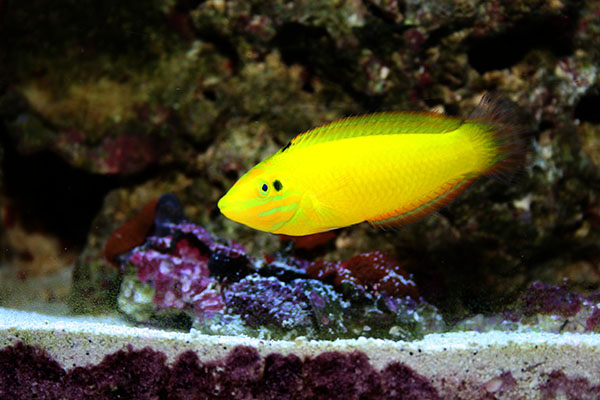 Halichoeres_chrysus-Yellow_Wrasse