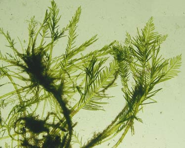 Bryopsis corticulans