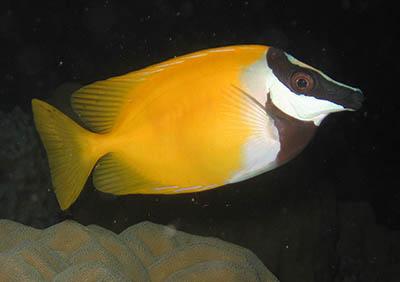 Siganus_vulpinus jakie ryby do akwarium