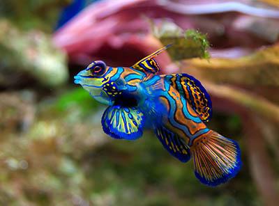Synchiropus splendidus - jakie ryby do akwarium