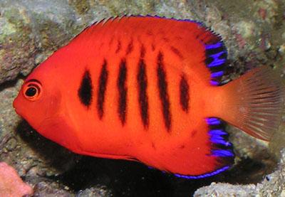 Centropyge_loricula - jakie ryby do akwarium