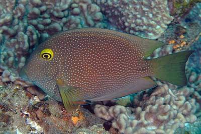 Ctenochaetus truncatus jakie ryby do akwarium