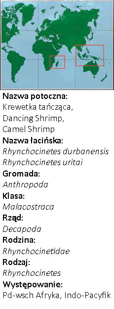 Krewetki Tańczące - Rhynchocinetes durbanensis - występowanie
