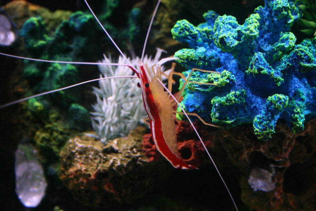 Krewetka czyszcząca - Lysmata amboinensis.
