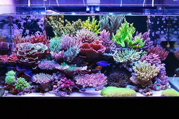Korale SPS