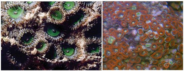 Zoanthus sansibaricus (Carlgrin 1900) formy barwne zielona i czerwona