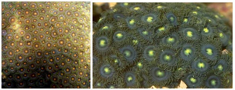 Zoanthus sociatus (Ellis, 1768)formy barwne z żółtymi i zielonymi środkami