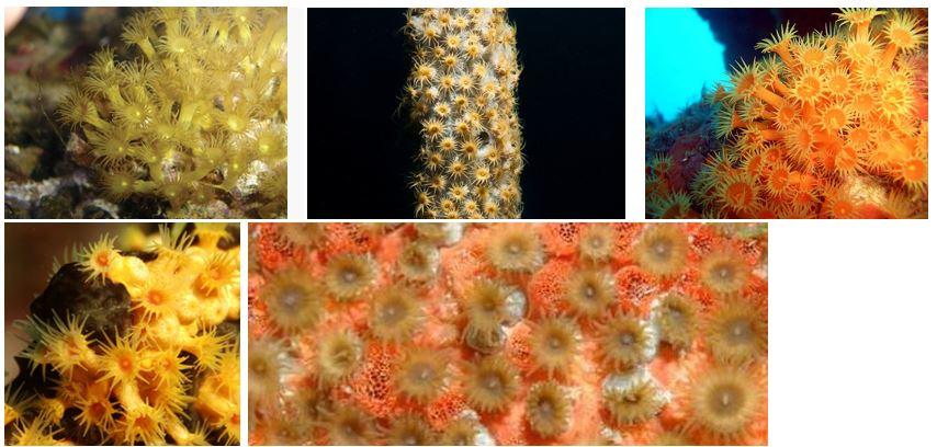 "Parazoantusa gracilis, P.axinellae, P.catenularis, P.swiftii, P.puertoricense ""żółte polipy"", często hodowane w akwariach)"