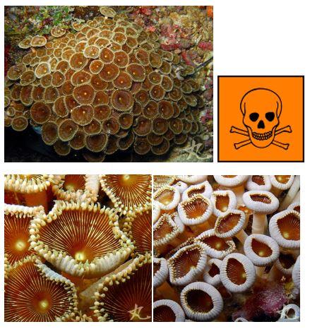 trujące korale