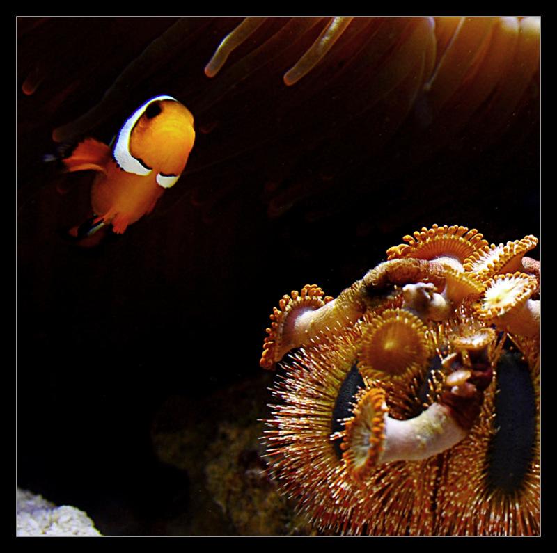 Symbioza w akwarium morskim