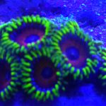 Sprzedam korale miekkie i LPS