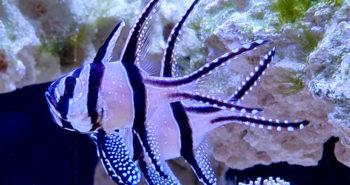 pterapogony